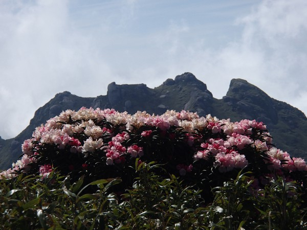 永田岳をバックにシャクナゲ14年6月13日