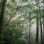 光差し込むヤクスギランドの森