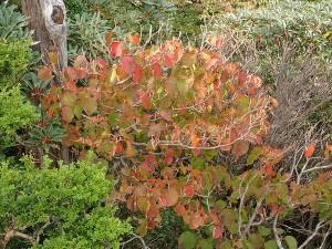 秋の山では落葉樹が色づきます。オオカメノキ。