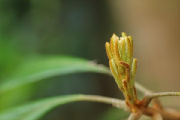 産毛がふわふわした新芽。ハマビワ