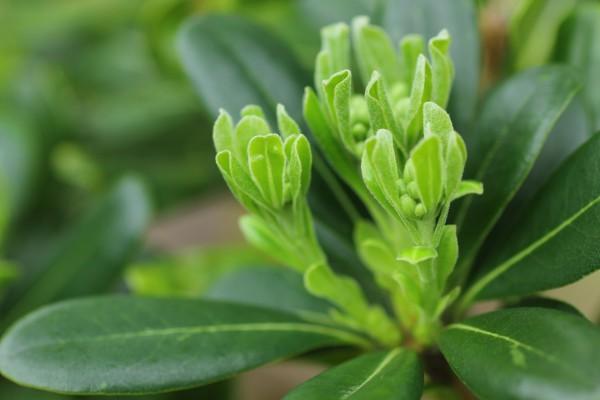 トベラの新芽。鮮やかな黄緑。